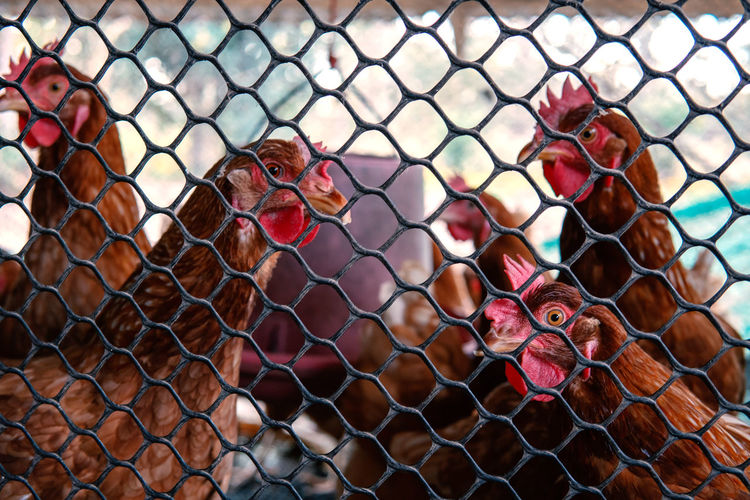Chicken Farm Cage Hungry