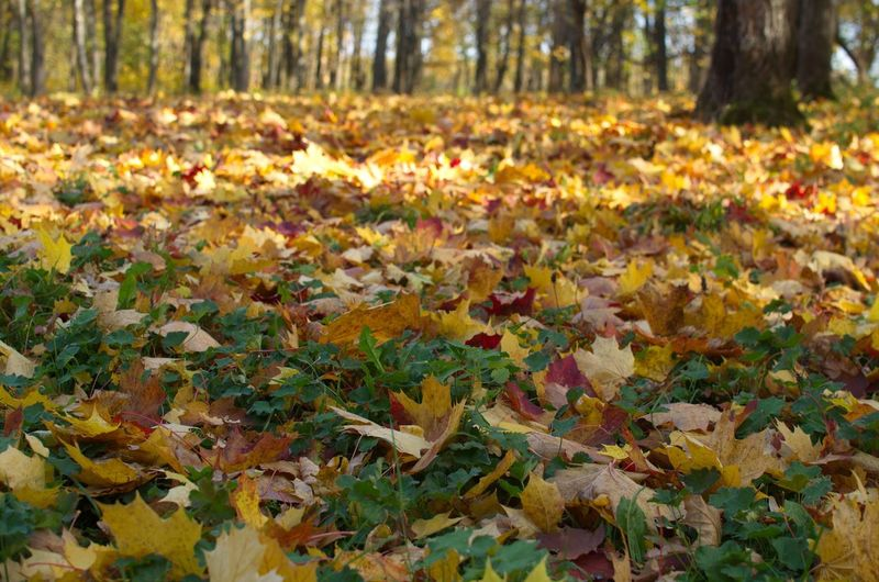 Close-up of autumn leaves in forest