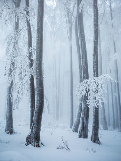 Cold Temperature Winter Snow Tree Land Forest Tranquil Scene Plant Beauty In Nature Trunk Tree Trunk Tranquility Scenics - Nature Nature White Color Non-urban Scene Environment WoodLand No People Snowing Extreme Weather Pine Tree Pine Woodland Coniferous Tree Purity