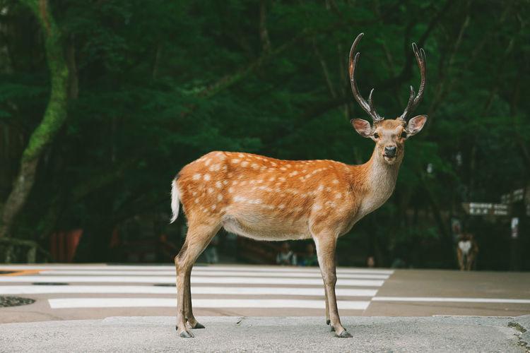 Animal Animal Wildlife Animal Themes Deer Animals In The Wild Nature Herbivorous Outdoors Japan Japan Photography