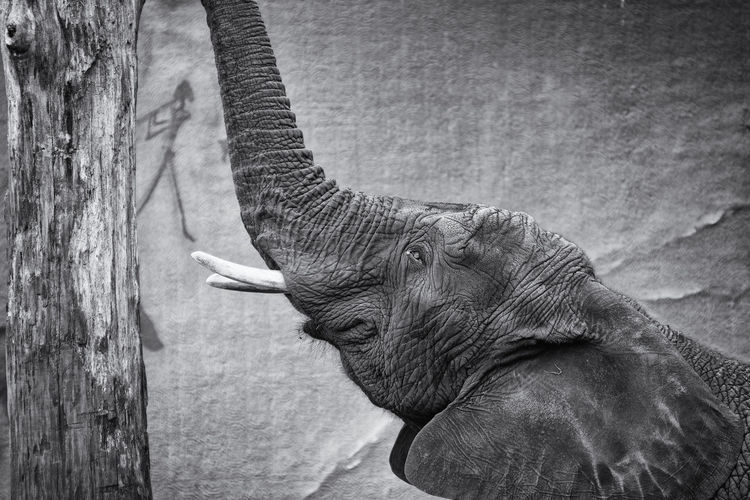 Close-up of elephant looking up
