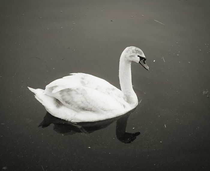 Swan Swanlake SwanLife heres my friend again coming so Close maybe not a good idea dont know how Deep our Friendship really is Nature Nature Photography Swan Series Swantastic Birdphotography Water Blackandwhite Black & White B&w Animal Themes Urban Spring Fever