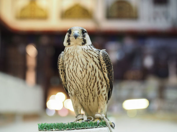 Falcon Display for sale Animal Themes Animal Wildlife Animals In The Wild Bird Bird Of Prey Close-up Day Falcon Falcon - Bird Falconry Falconry Display Focus On Foreground Nature No People One Animal Perching