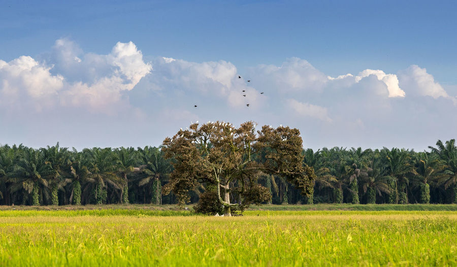 Plant Sky Tree Field Land Landscape Cloud - Sky Nature Environment Growth Agriculture Grass Scenics - Nature Day Beauty In Nature Crop  Tranquil Scene Rural Scene Tranquility Farm No People Outdoors Paddy Paddy Field Birds Animal Flying Fly Oil Palm Trees Oil Palm Plantations