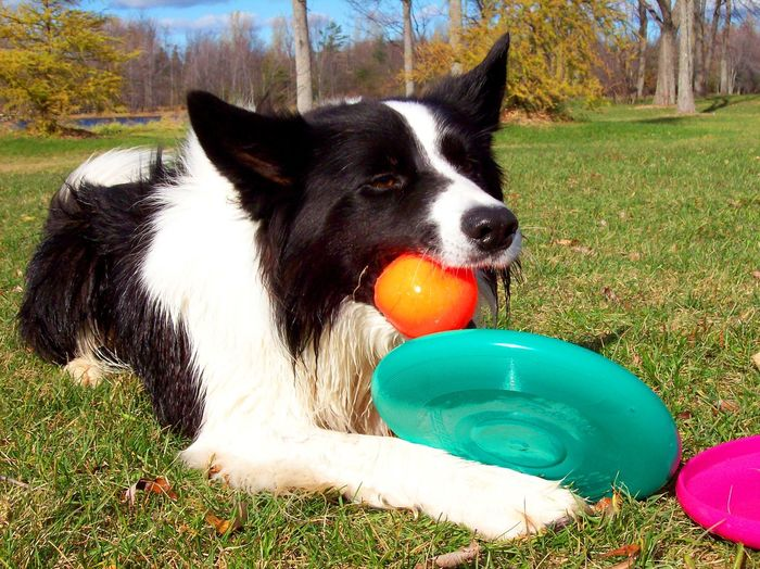 A border collie frisbee dog with his ball and frisbees Animal Themes Athletic Dogs Ball Beautiful Dog Border Collie Colorful Day Dog Dog Love Dog Photo Dog Playing Dog Toys Dog With A Ball Dog With Toys Domestic Animals Frisbee Frisbee Dog Frisby Grass Mammal No People One Animal Outdoors Pets Smart Pet