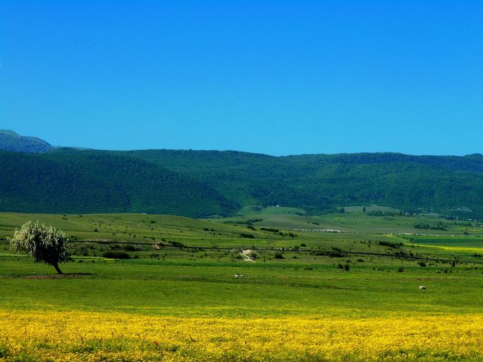 Agriculture Beauty In Nature Blue Clear Sky Colors Day Field Georgia Georgian Landscape Mammal Mountain Mountain Range Nature No People Outdoors Rural Scene Scenics Sky Tranquil Scene Tranquility Yellow
