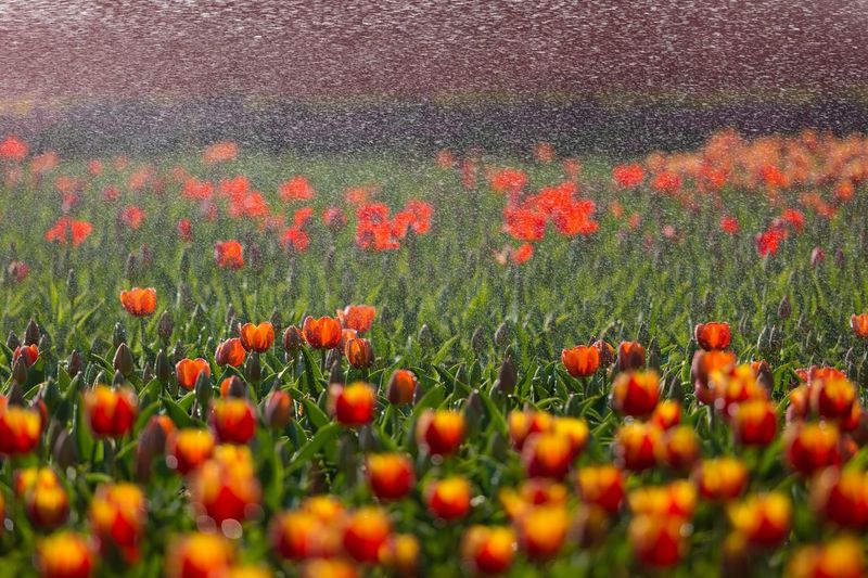 tulip Drops Plant Growth Beauty In Nature Flower Freshness Flowering Plant Orange Color No People Nature Field Red Flower Head Close-up Outdoors