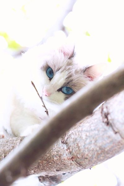 Animal Themes One Animal Looking At Camera No People Ragdoll Cat Outdoors Cat On The Tree Cat In The Greenery Blueeyedcat Pets Close-up Fragility Day Mammal Indoors
