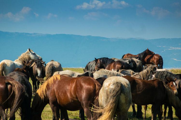 Beautiful wild horses at mountain cincar