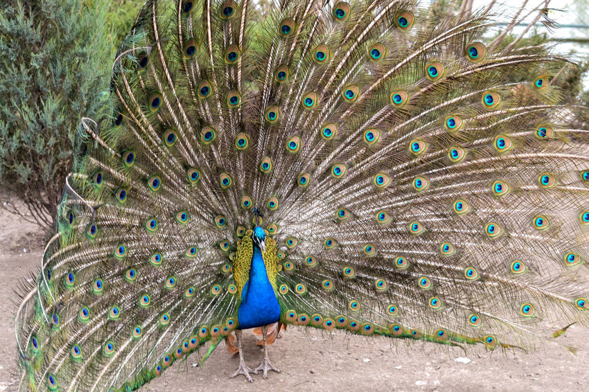 Peacock Peacock Feather Bird Feather  Fanned Out Animal Themes One Animal Animal Wildlife Animals In The Wild Blue Nature Beauty In Nature Day Outdoors No People Multi Colored Vanity Close-up