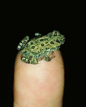 Tiny toad on my finger Hello World Check This Out Taking Photos Toad Toads Toads And Frogs Sosmall Littleguy IttyBitty  Itty Bitty  Ittybittyprettythings SummerNights Hotsummernight Cute Cutecritters EyeEm Gallery Nightanimal Closeupshot Closeup Shots Southdakota South Dakota