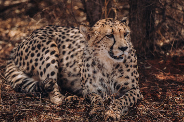 Portrait of cheetah resting in forest