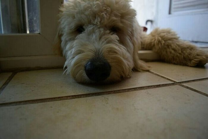 My baby, Mason the golden doodle puppy