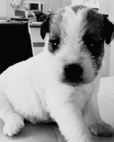 Puppy Puppy Love Jack Purcell Dog Dogs Of EyeEm EyeEm Best Shots EyeEm Gallery EyeEm EyeEm Best Shots - Black + White Blackandwhite Black And White Tiny Animal Dog Of Eyeem
