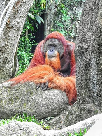 Orangutan EyeEmBestPics Orangutans EyeEm Best Shots Singapore Zoo Eye4photography  Save Orangutan EyeEm Best Shots - Nature Eyeemphotography Check This Out