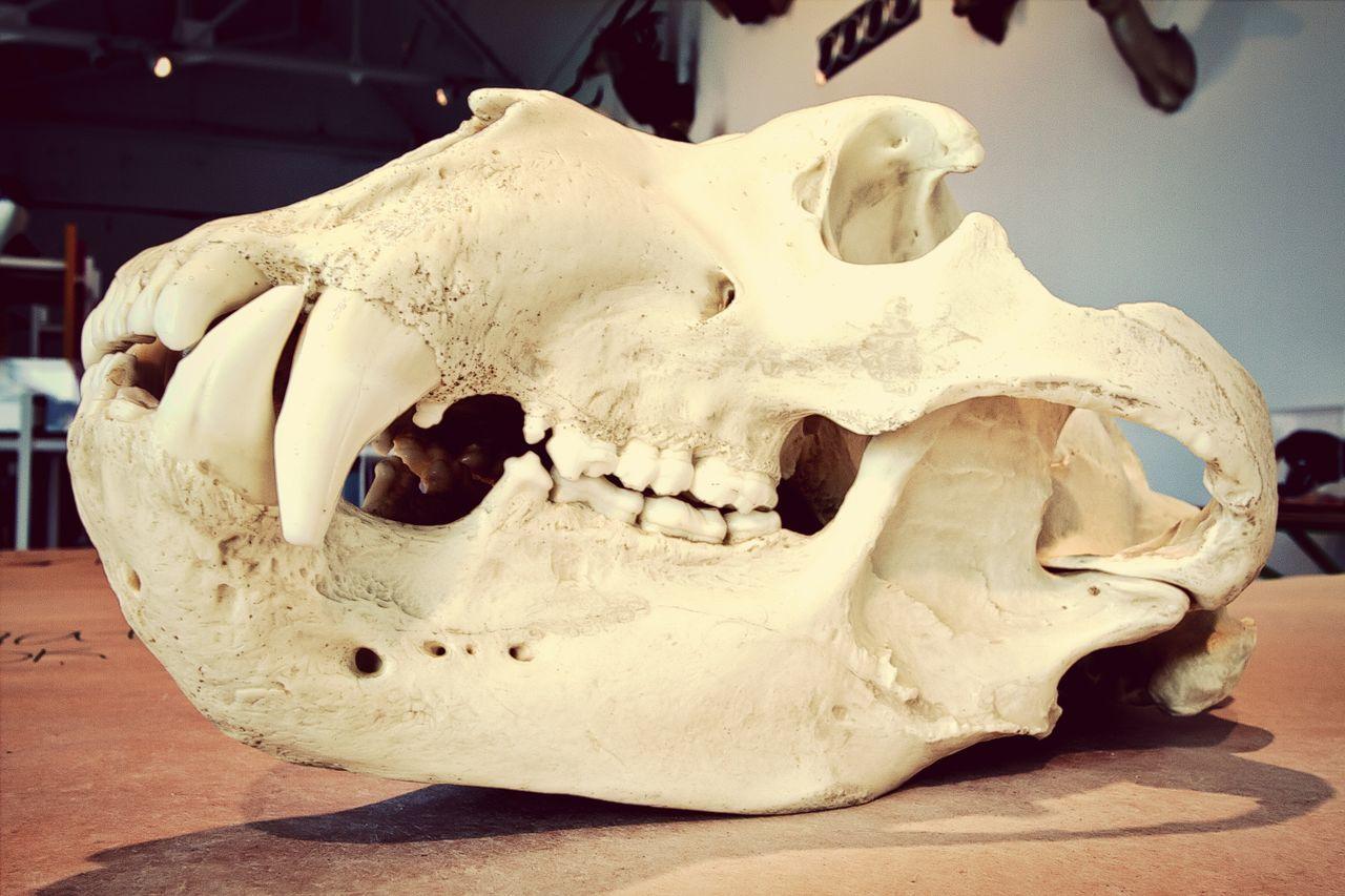 animal skull, single object, close-up, animal bone, no people, skeleton, indoors, day