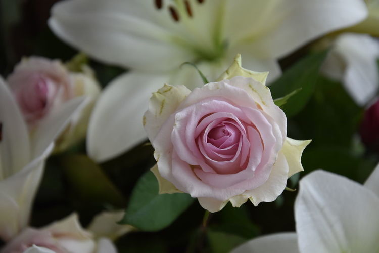 Beauty In Nature Bouquet Close-up Flower Flower Arrangement Flower Head Flowering Plant Focus On Foreground Fragility Freshness Growth Inflorescence Leaf Nature No People Petal Pink Color Plant Rosé Rose - Flower Vulnerability  White Color