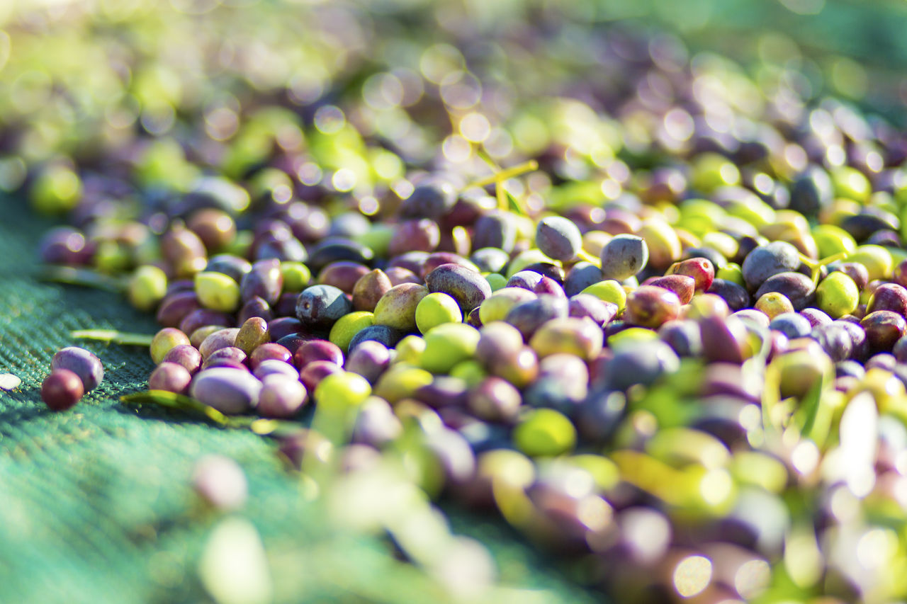 abundance, selective focus, green color, fruit, nature, grape, large group of objects, growth, olive, no people, day, outdoors, close-up, freshness, beauty in nature, black olive