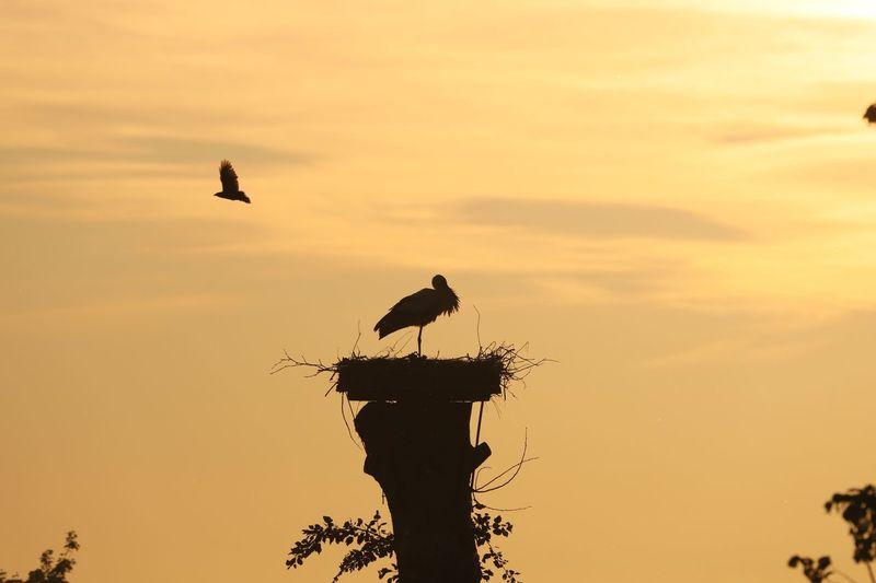 Stork in the evening Stork Bird Photography Eyemphotography Bird Vertebrate Animal Themes Animal Wildlife Animal Animals In The Wild Sunset Sky Silhouette One Animal Beauty In Nature