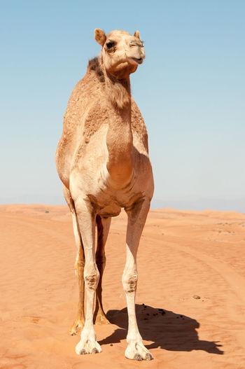 Oman desert Animal Themes Arid Climate Camel Desert Dromedario Dromedary Mammal Nature Oman Desert One Animal Sand Sand Dune Standing