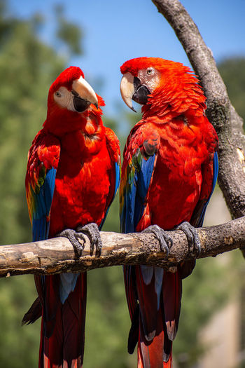 Bird Vertebrate Parrot Group Of Animals Animal Wildlife Animal Themes Animal Perching Animals In The Wild Focus On Foreground Macaw Two Animals Branch Red Scarlet Macaw Tree Day Nature No People Outdoors Birds Colorful Wildlife Pets Macaws Colorful Bird Colorful Birds Zoo Zoology Wings Wing Flight