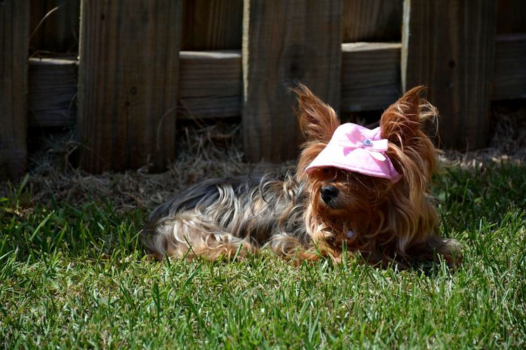 Yorkshire lying in the sun Lying Down Summertime Dogs Of Summer Pet Clothes EyeEm Selects Yorkie Yorkshire Terrier Little Dog Dog Sunhat Pets Grass Canine Lap Dog Terrier Puppy
