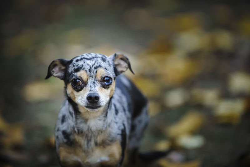 Close-up portrait of chihuahua dog