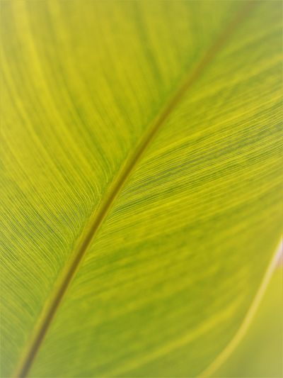 Abstract Abstract Backgrounds Backgrounds Beauty In Nature Botany Close-up Fragility Full Frame Green Color Growth Leaf Leaf Vein Leaves Natural Pattern Nature No People Outdoors Palm Leaf Pattern Plant Plant Part Selective Focus Softness Textured  Vulnerability