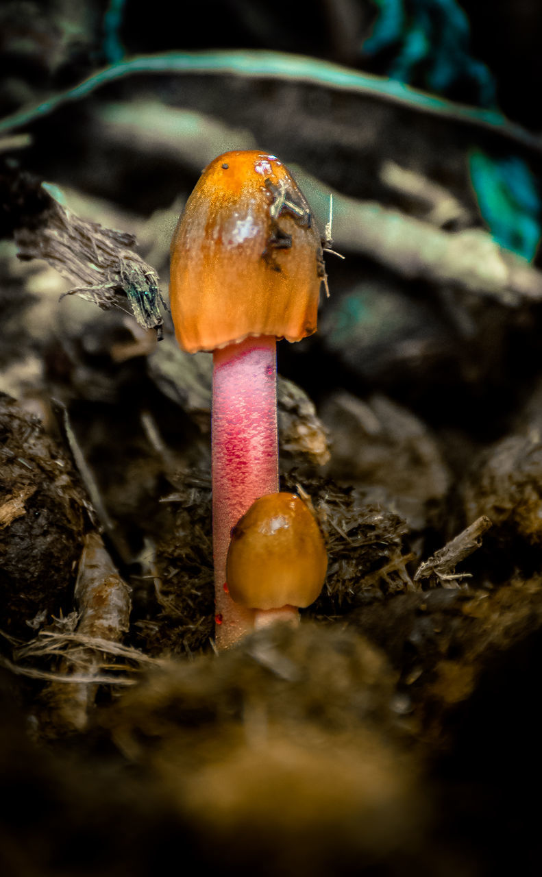selective focus, close-up, mushroom, fungus, vegetable, food, toadstool, land, no people, nature, food and drink, plant, tree, wood - material, forest, growth, day, outdoors, edible mushroom, field, surface level