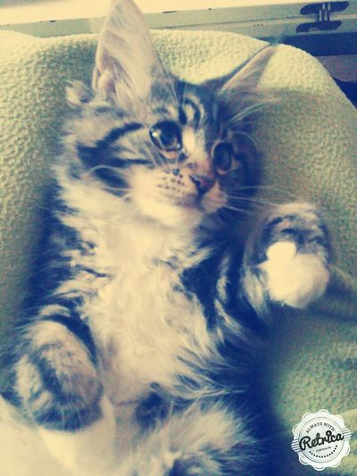 Maine Coon chat First Eyeem Photo