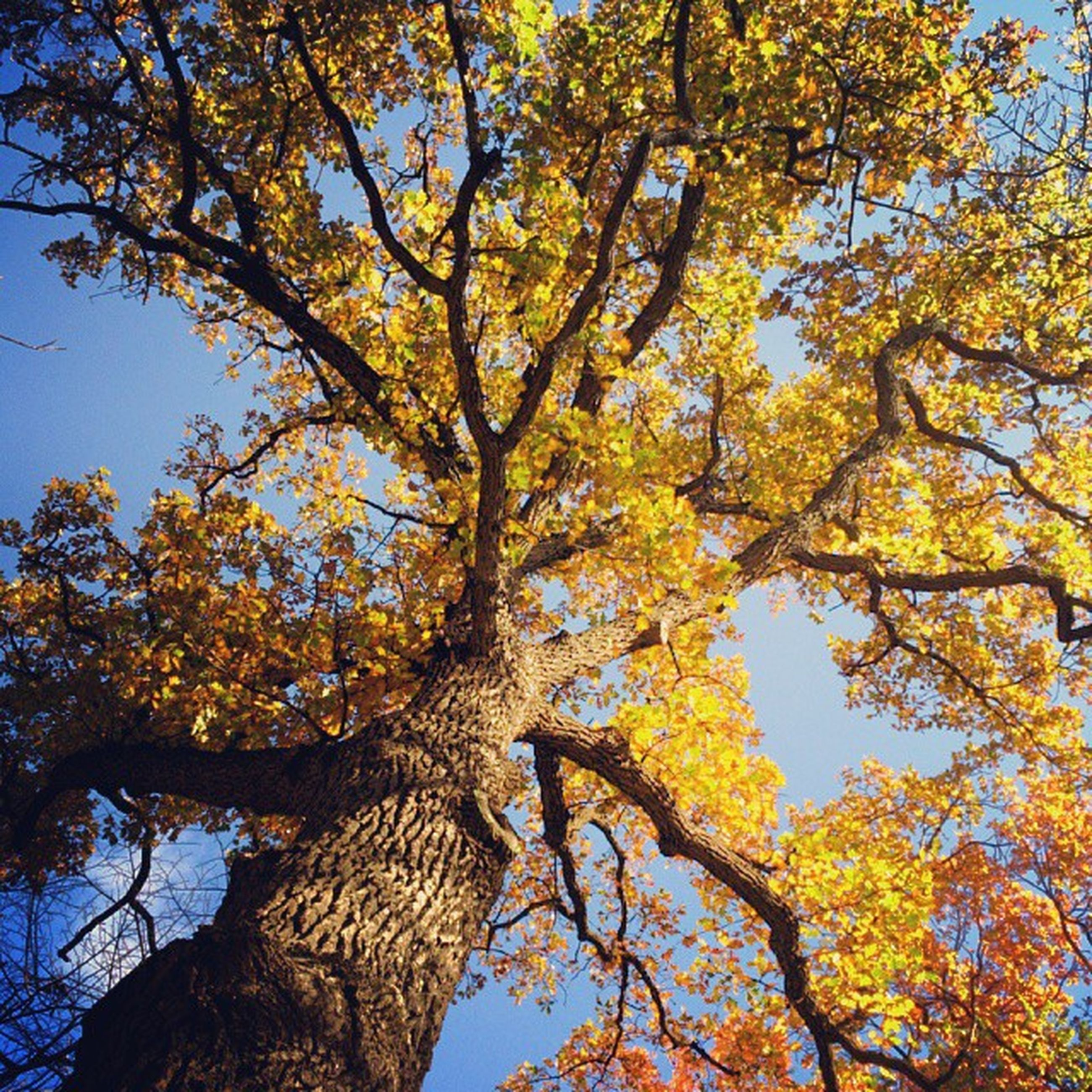 tree, low angle view, branch, autumn, growth, yellow, nature, change, beauty in nature, tranquility, clear sky, sky, leaf, scenics, season, tree trunk, sunlight, no people, day, outdoors