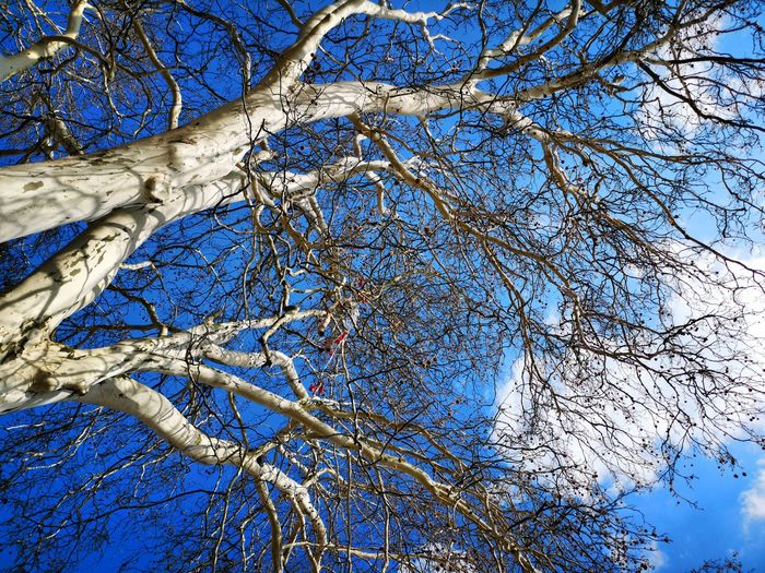 Tree Branch Backgrounds Blue Full Frame Close-up Sky Textured  Detail Blue Color Abstract Backgrounds Blooming Bark Rough Directly Below Marbled Effect