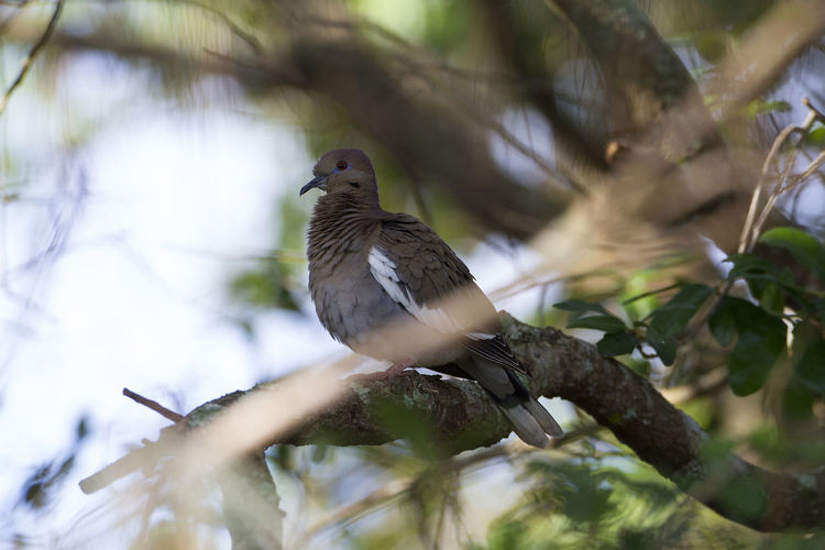 Animal Themes Animal Wildlife Animals In The Wild Bird Close-up Florida Birds One Animal White Winged Dove Zenaida Asiatica