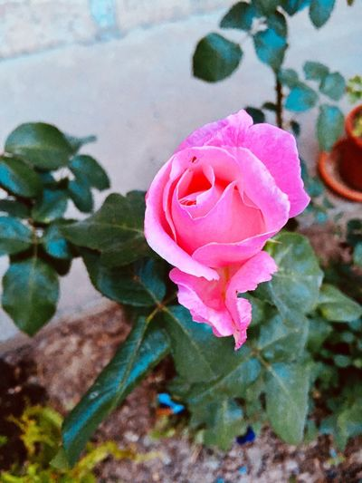Rose Flower Flowering Plant Plant Pink Color Beauty In Nature Freshness Petal Close-up Growth Inflorescence Flower Head Fragility Rosé Vulnerability  Nature Leaf Plant Part No People Rose - Flower Day