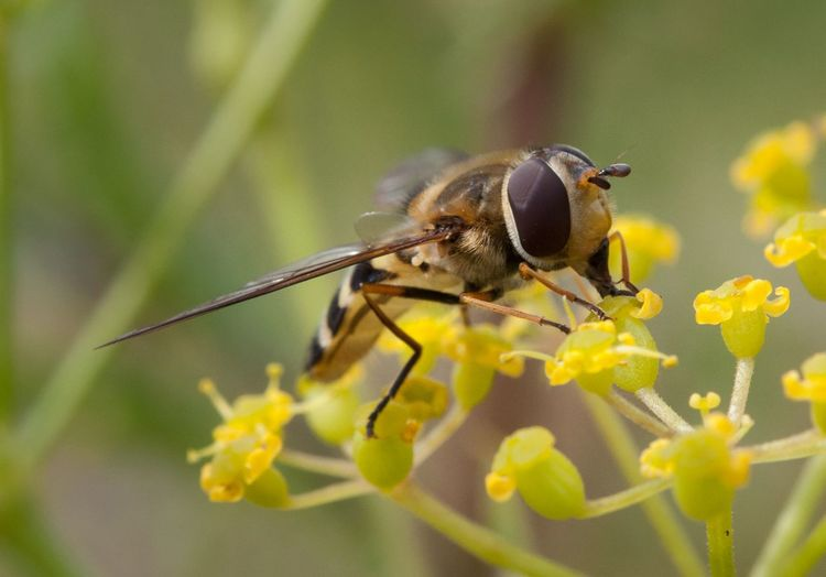 Close-Up Of Hoverfly On Yellow Flower