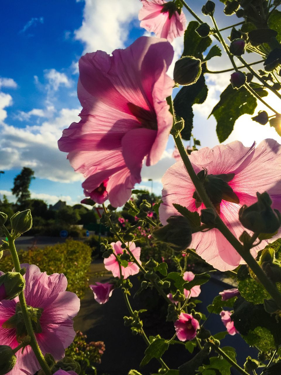 flower, fragility, petal, beauty in nature, growth, pink color, flower head, freshness, nature, blooming, plant, outdoors, day, no people, blossom, park - man made space, sky, stamen, close-up, springtime, tree, petunia