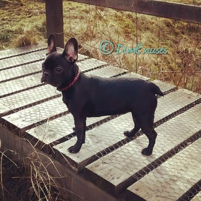 Daily Frenchton Puppy photo. Still bravely defending her bridge. AdventuresOfMolly