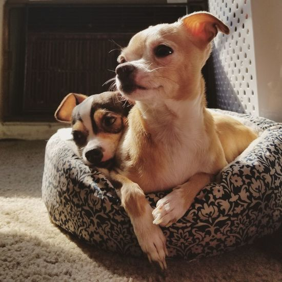 EyeEm Selects Dog Pets Domestic Animals Animal Themes Mammal Indoors  No People Home Interior Sitting Portrait Day Close-up Group Of Animals Tadaa Community Eye4photography  Chihuahuas Chihuahua Love ♥ Chihuahuaoftheday Teacup Chihuahua