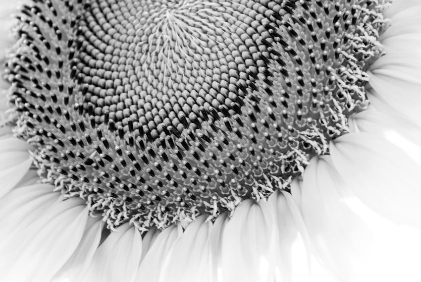 SUNFLOWER MAMMOTH Beauty In Nature Blackandwhite Blossom Close-up Extreme Close-up Flower Flower Head Fragility Full Frame Mammoth Sunflower Pattern Petal Sack Single Flower Single Object Softness Springtime Black & White Wildflower Sunflower Black And White Blackandwhite Photography Dramatic Angels