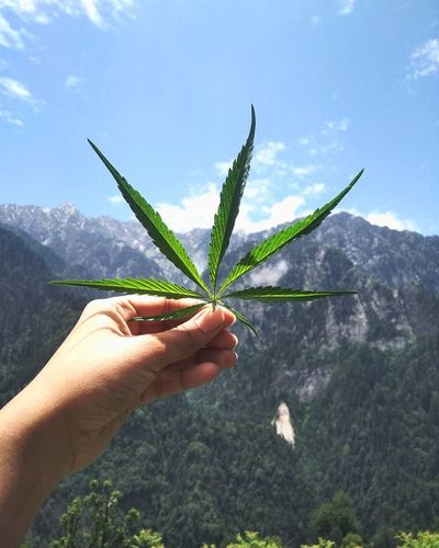 Human Hand One Person Holding Plant Nature Mountain Herb Day Green Color Leaf Close-up Weedstagram Cannabis Plant Marijuana - Herbal Cannabis MarijuanaLeaf Travel Destinations Beauty In Nature Mountainview Mountainside