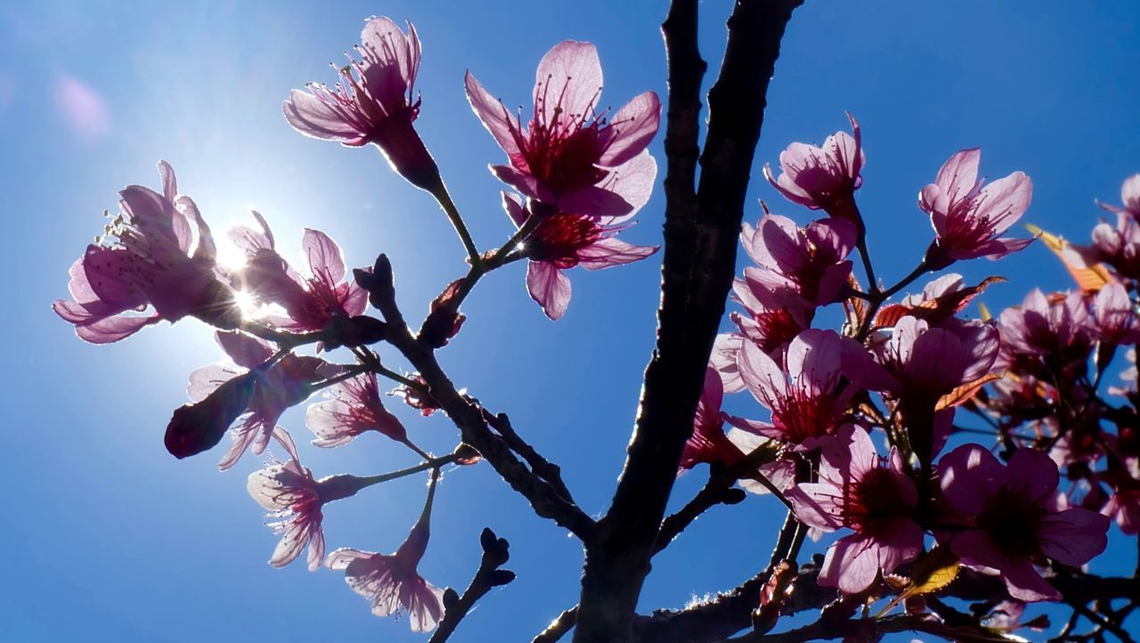 flower, fragility, growth, beauty in nature, blossom, nature, low angle view, springtime, no people, freshness, botany, petal, tree, branch, sky, stamen, outdoors, flower head, day, spring, sunlight, pink color, plant, blooming, close-up, clear sky