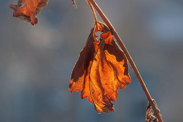 Plant Part Leaf Change Orange Color Dry Close-up Focus On Foreground Nature Leaves Vulnerability  Fragility Plant No People Beauty In Nature Day Outdoors Leaf Vein Natural Condition Dead Plant Dried Seasons Autumn
