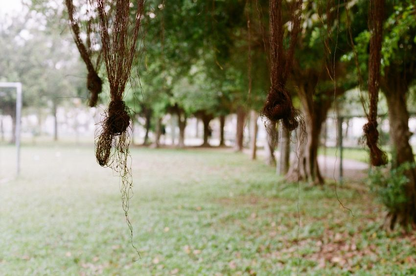 The Banyan tree 's roots entangled in the air Banyan Tree Entangled Banyan Tree Roots Entanglement No People Outdoors Roots Tangle Tranquility Tree