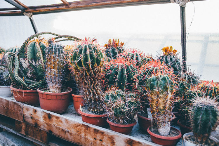 Potted Cactuses Growing In Greenhouse