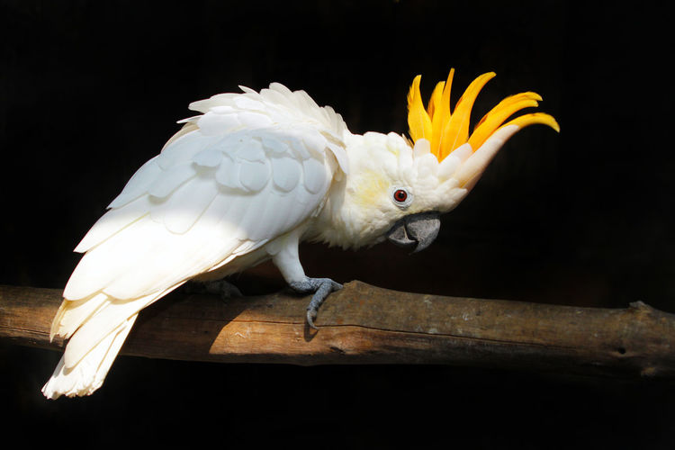 Cacatua Sulphurea Action Animal Animal Themes Beauty In Nature Bird Bird Of Prey Birds_collection Black Background Close-up Cockatoo Day INDONESIA Kakatua Jambul Kuning Looking At Camera Nature Nature No People One Animal Outdoors Pretty Songbird  Spread Wings Vertical Wild