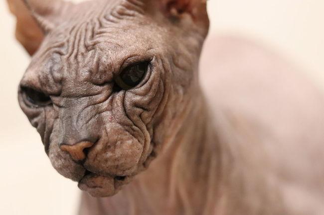 Mars Canon 200D Sl2 Potrait Pet Sphinx Cat Ef50mmf18stm Portrait Pets Close-up Animal Eye Eye Eye Color Animal Body Part Animal Skin Animal Head  Animal Nose HEAD