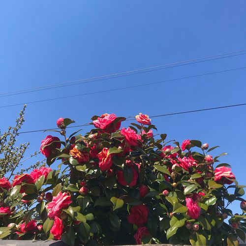 Rose and sky