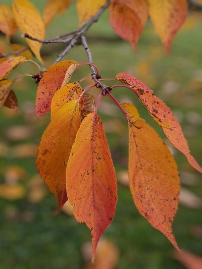 Close-up of yellow maple leaves on branch