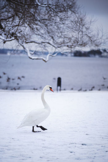View of swan in lake during winter