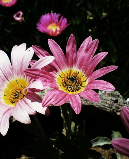 African Daisies African Daisy Pink And Yellow Flower Flower Head Flower Beauty Pink Color Yellow Petal Multi Colored Stamen Pollen Close-up